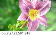Купить «Beautiful Light purple daylily in garden», видеоролик № 23581918, снято 5 июля 2016 г. (c) Володина Ольга / Фотобанк Лори