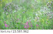 Купить «Fragment of beautiful meadow with wild flowers, Russia», видеоролик № 23581962, снято 8 июля 2016 г. (c) Володина Ольга / Фотобанк Лори