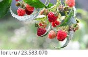 Купить «a lot of ripe raspberries on the branch», видеоролик № 23583070, снято 10 августа 2016 г. (c) Володина Ольга / Фотобанк Лори