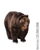 Купить «Большой бурый медведь на белом фоне изолировано», фото № 23583098, снято 26 мая 2016 г. (c) Наталья Волкова / Фотобанк Лори