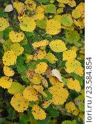 Листья осины желтые. Осень наступила. Стоковое фото, фотограф Галимова Надежда Александровна / Фотобанк Лори