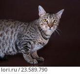 Кошка саванна. Стоковое фото, фотограф Светлана Валуйская / Фотобанк Лори