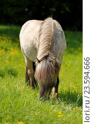 Купить «browsing Icelandic horse», фото № 23594666, снято 13 января 2016 г. (c) age Fotostock / Фотобанк Лори