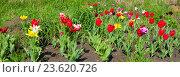 Купить «Тюльпаны в саду», фото № 23620726, снято 5 июня 2016 г. (c) Ирина Солошенко / Фотобанк Лори