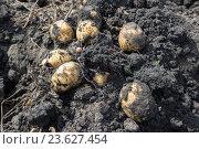 Купить «Freshly dug potatoes lying on ground», фото № 23627454, снято 23 августа 2016 г. (c) Володина Ольга / Фотобанк Лори