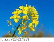 Купить «Желтый цветок горчицы (Sinapis alba)», фото № 23627858, снято 21 февраля 2013 г. (c) Ростислав Агеев / Фотобанк Лори