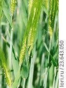Купить «Hordeum vulgare, Barley, flowering», фото № 23643050, снято 21 февраля 2019 г. (c) age Fotostock / Фотобанк Лори