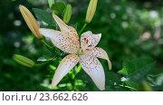 Купить «Yellow spotted lily in flowerbed», видеоролик № 23662626, снято 1 июля 2016 г. (c) Володина Ольга / Фотобанк Лори