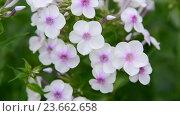 Купить «large inflorescences of white varietal phlox», видеоролик № 23662658, снято 30 июня 2016 г. (c) Володина Ольга / Фотобанк Лори