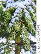 Купить «Еловые ветки покрыты свежим снегом», фото № 23664678, снято 2 января 2016 г. (c) Андрей Радченко / Фотобанк Лори