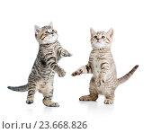 Купить «two playful funny kitten isolated on white background», фото № 23668826, снято 4 января 2014 г. (c) Оксана Кузьмина / Фотобанк Лори