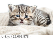 baby cat kitten lying on jersey. Стоковое фото, фотограф Оксана Кузьмина / Фотобанк Лори
