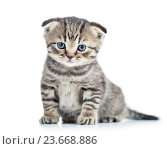 Купить «funny baby cat fold Scottish kitten», фото № 23668886, снято 17 декабря 2013 г. (c) Оксана Кузьмина / Фотобанк Лори