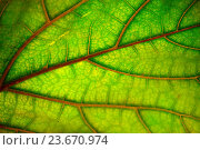 Купить «Autumn leaf texture, abstract background. Natural  pattern», фото № 23670974, снято 6 сентября 2016 г. (c) Татьяна Белова / Фотобанк Лори