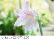 Купить «beautiful Hippeastrum johnsonii in nature», фото № 23671230, снято 19 апреля 2013 г. (c) easy Fotostock / Фотобанк Лори