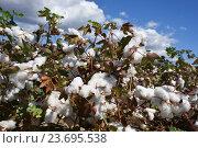 Купить «Cotton plant ready for harvest», фото № 23695538, снято 20 сентября 2016 г. (c) Знаменский Олег / Фотобанк Лори