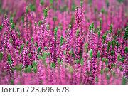 Купить «Blooming of  heather flowers», фото № 23696678, снято 6 сентября 2016 г. (c) Татьяна Белова / Фотобанк Лори