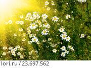 Солнечная полянка с ромашками. Стоковое фото, фотограф Сергей Трофименко / Фотобанк Лори