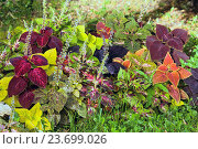 Купить «Цветные листья декоративных растений - колеус и гипоэстес (Coleus and Hypoestes)», фото № 23699026, снято 6 сентября 2016 г. (c) Татьяна Белова / Фотобанк Лори
