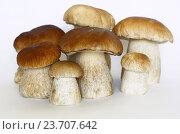 Купить «Белые грибы, или боровики (лат. Boletus edulis), на белом фоне», фото № 23707642, снято 28 августа 2016 г. (c) Елена Коромыслова / Фотобанк Лори