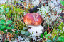 Молодой белый гриб растет в лесу, фото № 23708310, снято 20 сентября 2016 г. (c) Алексей Маринченко / Фотобанк Лори