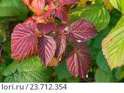 Красные осенние листья малины. Стоковое фото, фотограф Сергей Овчинников / Фотобанк Лори