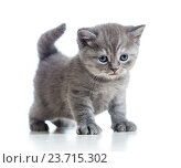 Купить «cute cat kitty isolated on white», фото № 23715302, снято 23 декабря 2012 г. (c) Оксана Кузьмина / Фотобанк Лори