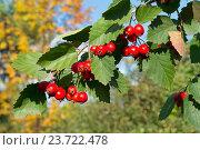 Спелые ягоды боярышника на ветке. Стоковое фото, фотограф Лощенов Владимир / Фотобанк Лори