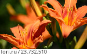 Купить «Orange daylily closeup», видеоролик № 23732510, снято 1 июля 2016 г. (c) Володина Ольга / Фотобанк Лори