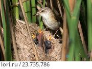 Купить «Камышовка индийская кормит птенцов. Paddyfield Warbler (Acrocephalus agricola).», фото № 23735786, снято 18 июня 2016 г. (c) Василий Вишневский / Фотобанк Лори