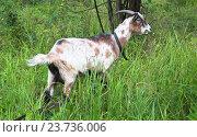 Купить «Коза рогатая в лесочке», эксклюзивное фото № 23736006, снято 15 июля 2016 г. (c) Алёшина Оксана / Фотобанк Лори