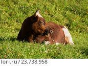 Молодой бык лежит на траве. Стоковое фото, фотограф Виктор Карасев / Фотобанк Лори
