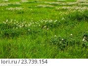 Яркая зеленая трава и немного белого клевера. Стоковое фото, фотограф Илья Малов / Фотобанк Лори