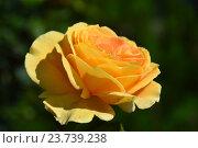 Купить «Роза Кэндллайт (лат. Candlelight)», эксклюзивное фото № 23739238, снято 1 августа 2015 г. (c) lana1501 / Фотобанк Лори