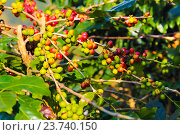 Купить «Кофейное дерево с плодами», фото № 23740150, снято 11 января 2016 г. (c) Дарья Петренко / Фотобанк Лори