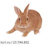 Купить «Карликовый кролик, изолировано на белом фоне», фото № 23744802, снято 9 апреля 2016 г. (c) Игорь Долгов / Фотобанк Лори