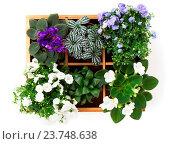 Купить «flowers top view (Saintpaulia, Campanula terry, Fittonia, Adromischus) in a wooden box», фото № 23748638, снято 28 января 2015 г. (c) easy Fotostock / Фотобанк Лори