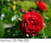 Купить «Роза кустарниковая Эмера (лат. Emera)», эксклюзивное фото № 23764250, снято 1 июля 2015 г. (c) lana1501 / Фотобанк Лори