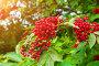 Красная бузина - вид ягод бузины на ветке крупным планом, фото № 23765954, снято 15 июля 2016 г. (c) Зезелина Марина / Фотобанк Лори