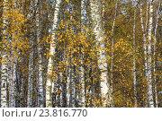 Купить «Березовая роща в солнечный день во время бабьего лета», фото № 23816770, снято 9 октября 2016 г. (c) Николай Винокуров / Фотобанк Лори