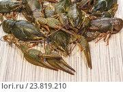 Купить «Широкопалый речной рак (лат. Astacus astacus) — вид десятиногих ракообразных из инфраотряда Astacidea - на столе», фото № 23819210, снято 15 октября 2016 г. (c) Наталья Гармашева / Фотобанк Лори
