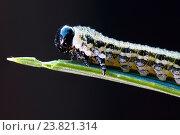 Купить «Гусеница соснового пилильщика крупно», фото № 23821314, снято 16 июля 2020 г. (c) Mike The / Фотобанк Лори