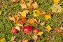 Красные яблоки на траве среди осенней листвы, эксклюзивное фото № 23821350, снято 16 октября 2016 г. (c) Svet / Фотобанк Лори