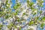 Цветение вишни, фото № 23822490, снято 21 октября 2016 г. (c) megastocker / Фотобанк Лори
