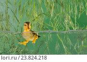 Купить «Маленький утенок плавает в аквариуме», фото № 23824218, снято 22 мая 2014 г. (c) Iordache Magdalena / Фотобанк Лори