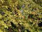 Боярышник обыкновенный,спелые  плоды и листья (лат. Crataegus laevigata), эксклюзивное фото № 23825658, снято 16 октября 2016 г. (c) Svet / Фотобанк Лори