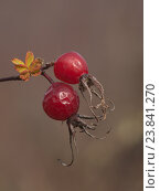 Купить «Две ягоды шиповника», фото № 23841270, снято 27 октября 2012 г. (c) Олег Рубик / Фотобанк Лори