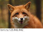 Купить «Портрет лисы в осеннем лесу», эксклюзивное фото № 23842842, снято 15 октября 2016 г. (c) Роман Рожков / Фотобанк Лори