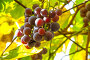 Виноградная гроздь в лучах солнца на лозе, фото № 23858818, снято 12 сентября 2016 г. (c) Дудакова / Фотобанк Лори