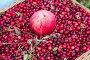 Яблоко на фоне спелых ягод клюквы в корзине, фото № 23860158, снято 8 октября 2016 г. (c) Ольга Коцюба / Фотобанк Лори
